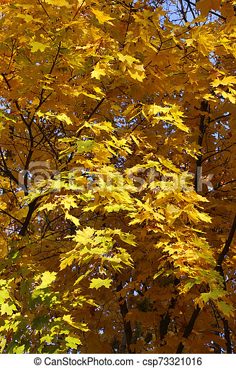 Beautiful golden autumn leaves of maple - csp73321016