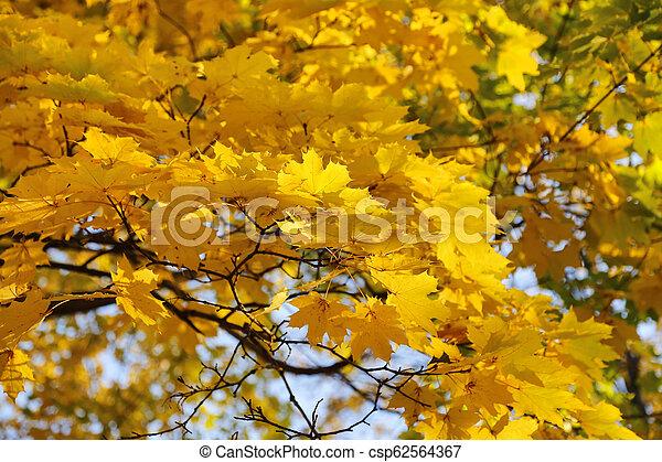Beautiful golden autumn leaves of maple - csp62564367