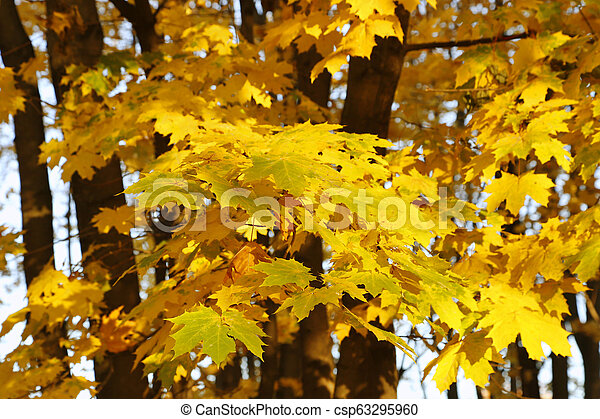 Beautiful golden autumn leaves of maple - csp63295960