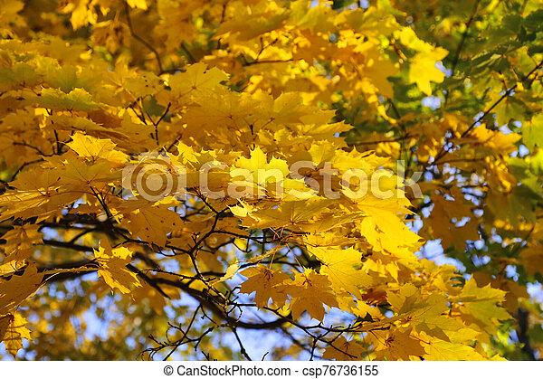 Beautiful golden autumn leaves of maple - csp76736155