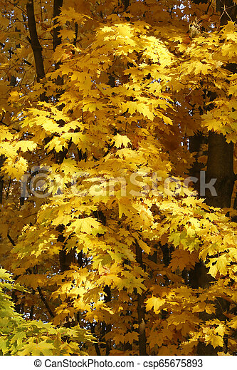 Beautiful golden autumn leaves of maple in the sunlight - csp65675893