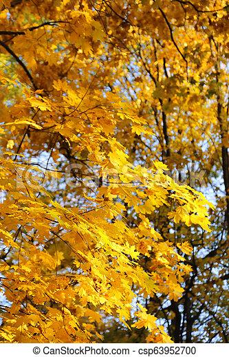 Beautiful golden autumn leaves of maple - csp63952700