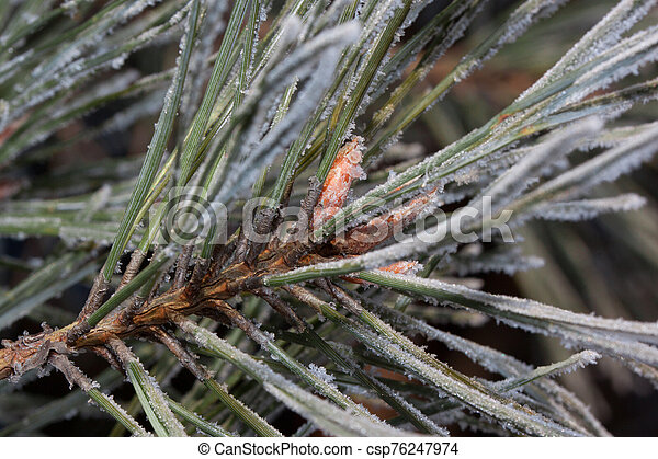 Beautiful green branch of the pine with young cones covered snow and hoarfrost. Close up. - csp76247974