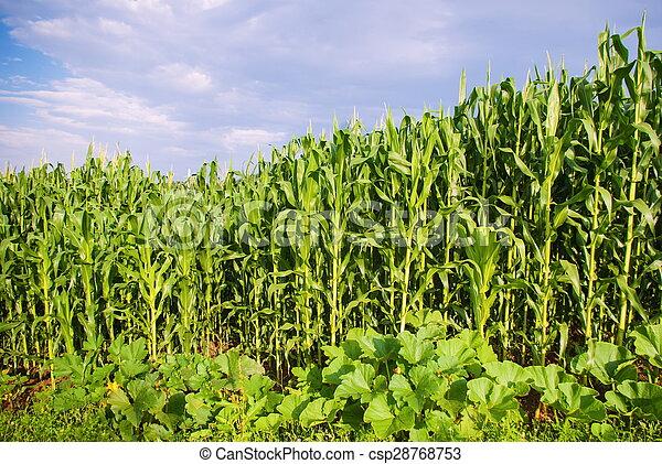 beautiful green corn meadow - csp28768753