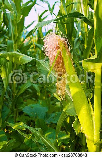 beautiful green corn meadow - csp28768843