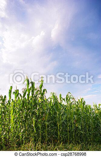 beautiful green corn meadow - csp28768998