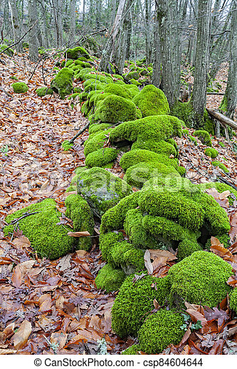 Beautiful green moss covers a wall of a meadow.Abstract background of moss. - csp84604644