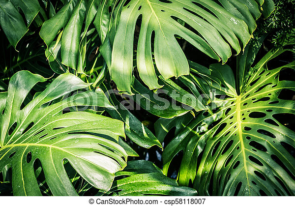 Beautiful Green Tropical Leaves Monstera Canstock Domestika is the largest community for creative professionals. https www canstockphoto com beautiful green tropical leaves monstera 58118007 html