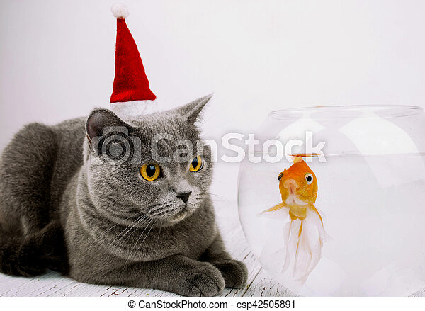 Beautiful grey British Shorthair cat in red Christmas hat looks at golden  fish in aquarium