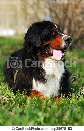 beautiful happy Bernese mountain dog - csp38678183