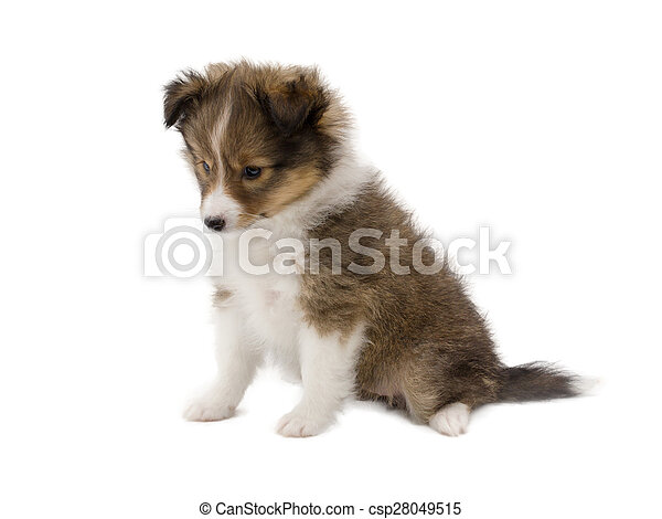 Beautiful happy sheltie puppy dog  - csp28049515