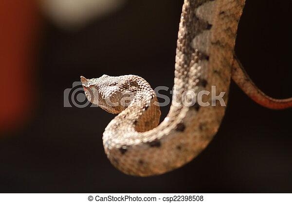 beautiful horned viper - csp22398508