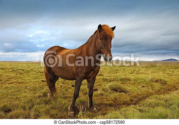 Beautiful Icelandic horse grazing in the field - csp58172590
