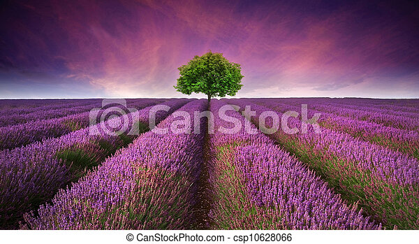 Beautiful image of lavender field Summer sunset landscape with single tree on horizon contrasting colors - csp10628066