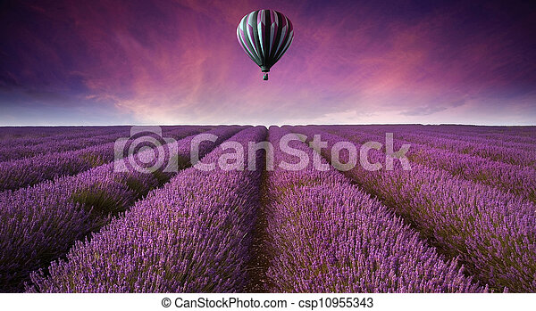 Beautiful image of lavender field Summer sunset landscape with hot air balloon - csp10955343