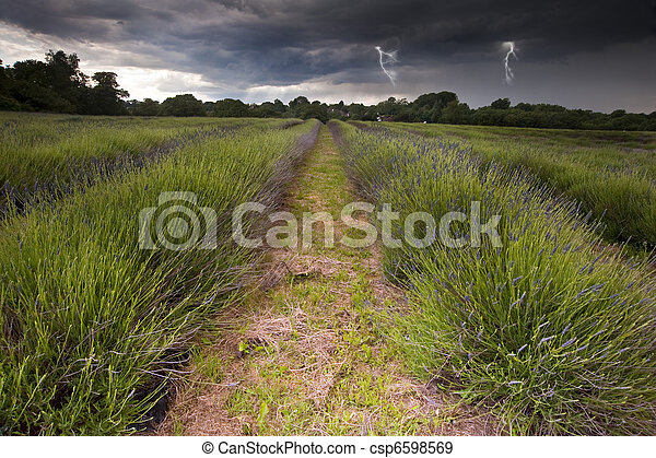 Beautiful image of moody dramatic storm clouds over vibrant lavender fields in countryside landscape with bolts of lightening - csp6598569
