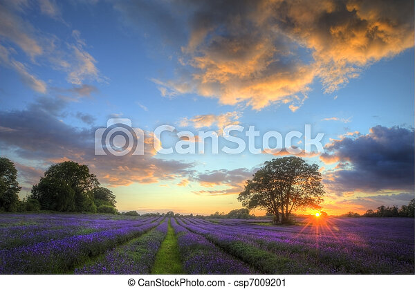 Beautiful image of stunning sunset with atmospheric clouds and sky over vibrant ripe lavender fields in English countryside landscape - csp7009201