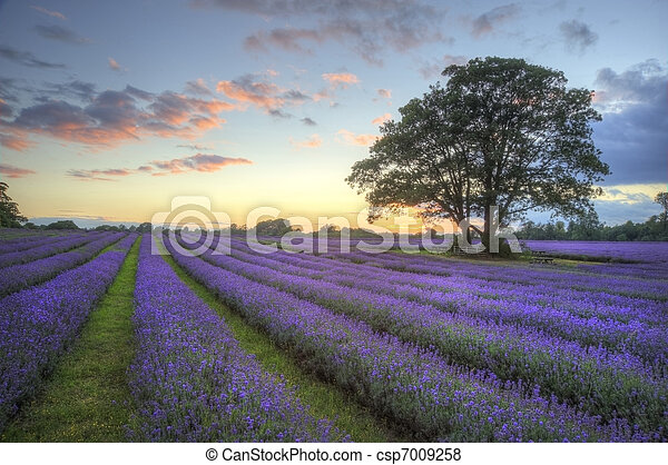 Beautiful image of stunning sunset with atmospheric clouds and sky over vibrant ripe lavender fields in English countryside landscape - csp7009258