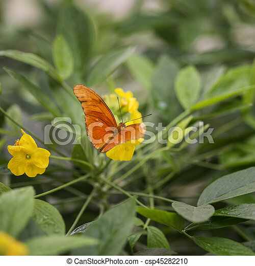 Beautiful Julia butterfly lepidoptra nymphalidae butterfly on yellow flowers - csp45282210