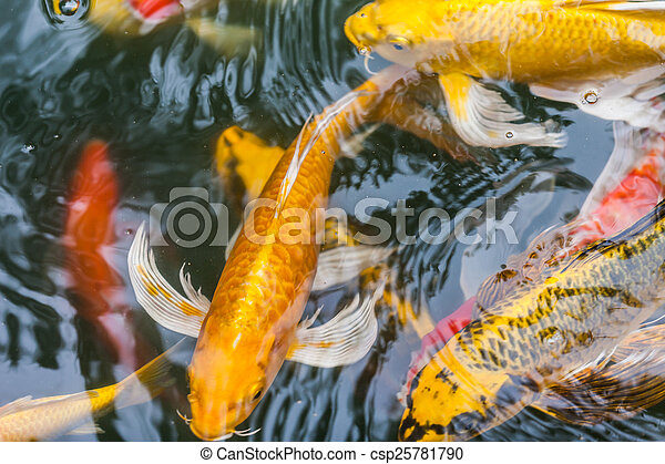 Beautiful koi fish swimming in the pond for Koi pond you can swim in