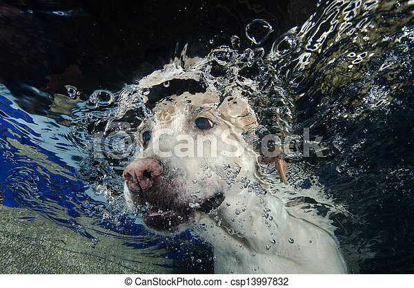 Beautiful Labrador retriever diving underwater - csp13997832