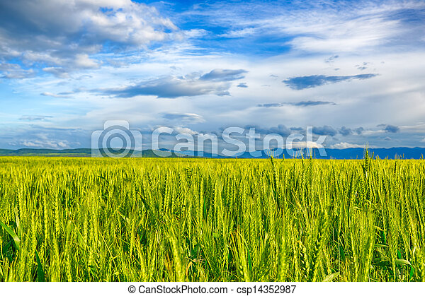 Beautiful landscape field of wheat, cloud and mountain. HDR image - csp14352987