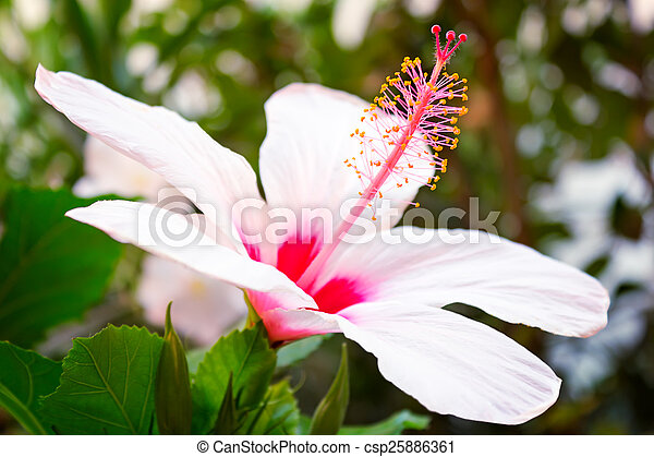 Beautiful Large Pink And White Hibiscus Flower Large Hibiscus