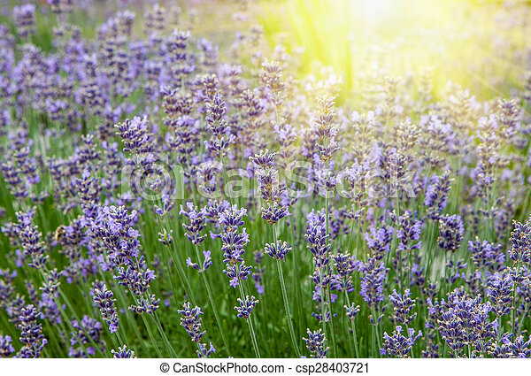 Beautiful lavender flowers in the rays of the setting sun - csp28403721