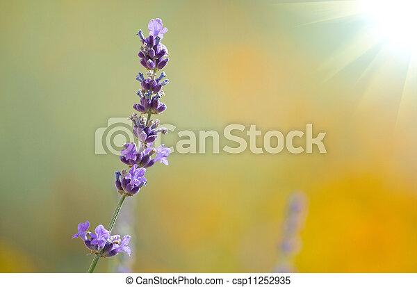 beautiful lavenders - csp11252935
