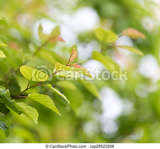 beautiful leaves on the tree in nature - csp28523208