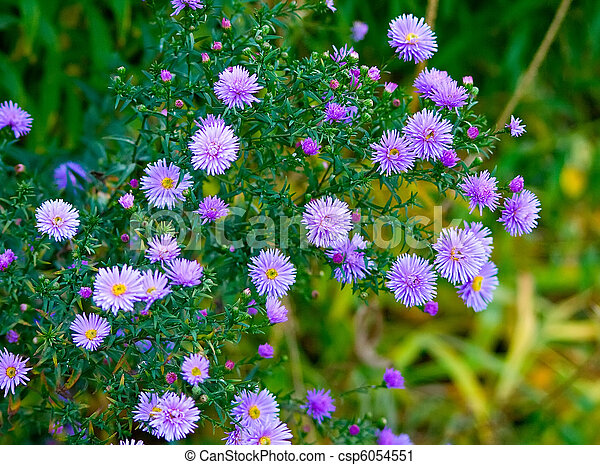 Beautiful lilac asters - csp6054551