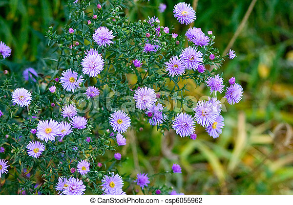 Beautiful lilac asters - csp6055962