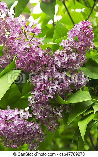 Beautiful Lilac flowers - csp47769273