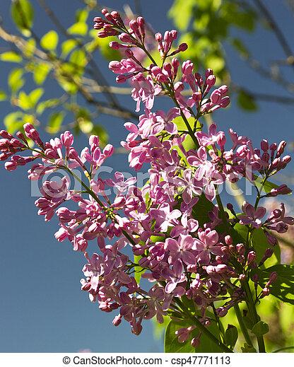 Beautiful Lilac flowers - csp47771113