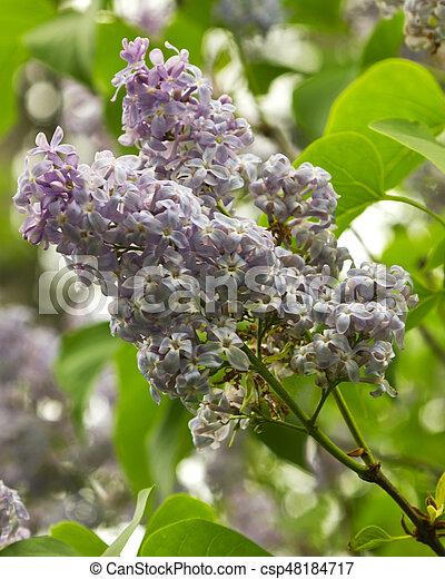Beautiful Lilac flowers - csp48184717