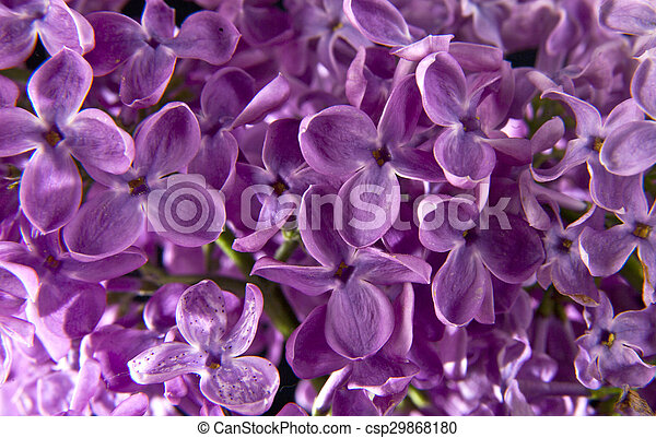 beautiful lilac flowers - csp29868180