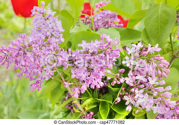Beautiful Lilac flowers - csp47771082