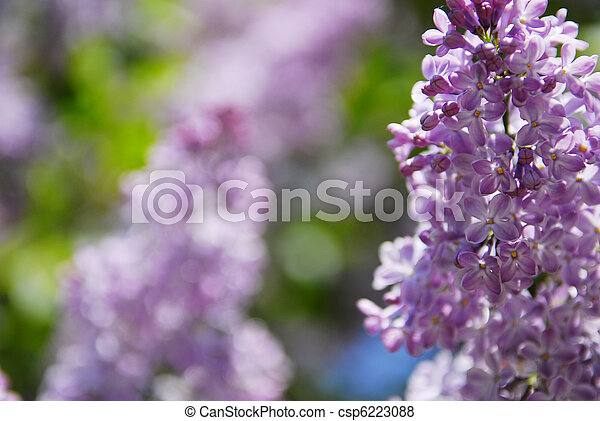 beautiful lilac flowers - csp6223088