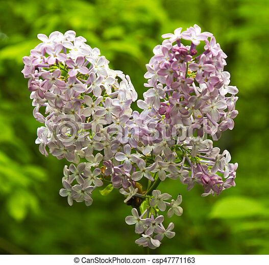 Beautiful Lilac flowers - csp47771163