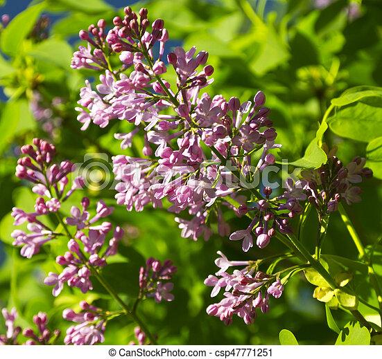 Beautiful Lilac flowers - csp47771251