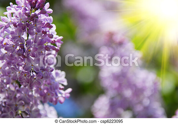 beautiful lilac flowers - csp6223095