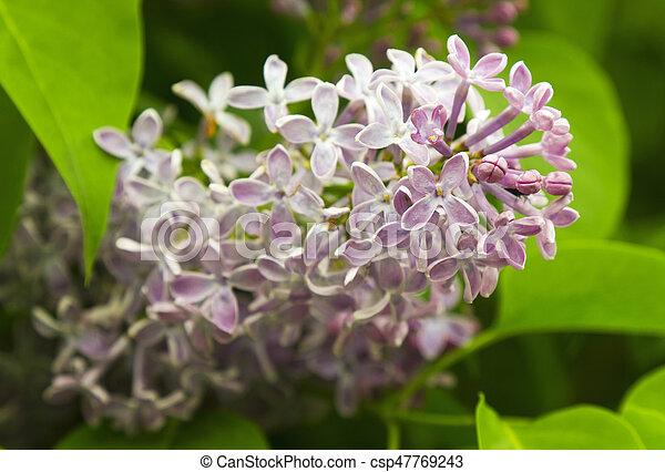 Beautiful Lilac flowers - csp47769243