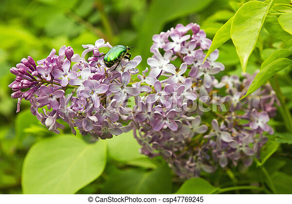 Beautiful Lilac flowers - csp47769245