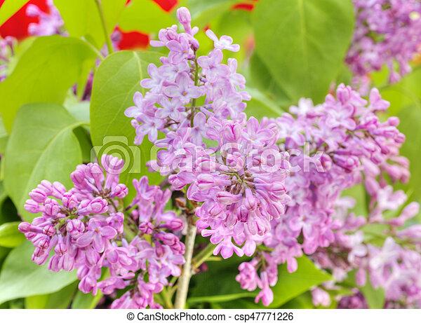 Beautiful Lilac flowers - csp47771226