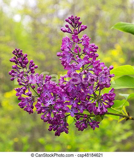 Beautiful Lilac flowers - csp48184621