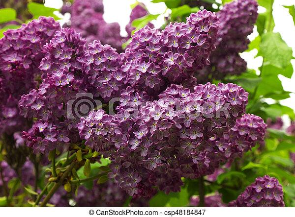Beautiful Lilac flowers - csp48184847