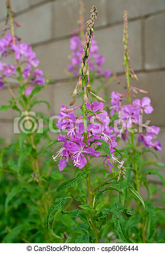 Beautiful lilac flowers - csp6066444