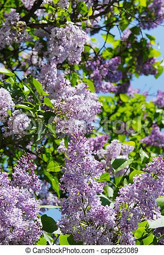beautiful lilac flowers - csp6223089