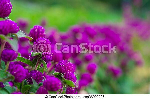 beautiful lilac flowers - csp36902305