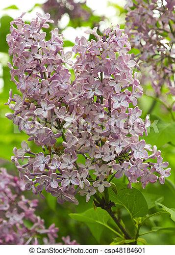 Beautiful Lilac flowers - csp48184601